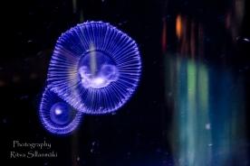 traslucent from Aquarium--22