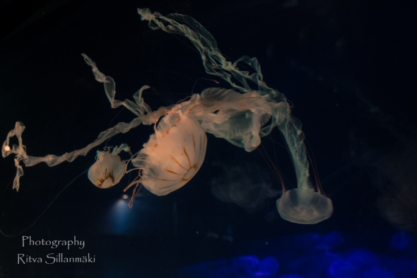 traslucent Jellyfish--2