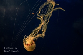 traslucent Jellyfish--3