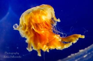 traslucent Jellyfish--5