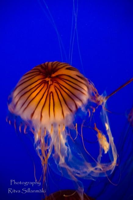 traslucent Jellyfish--8