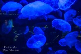 traslucent Jellyfish-