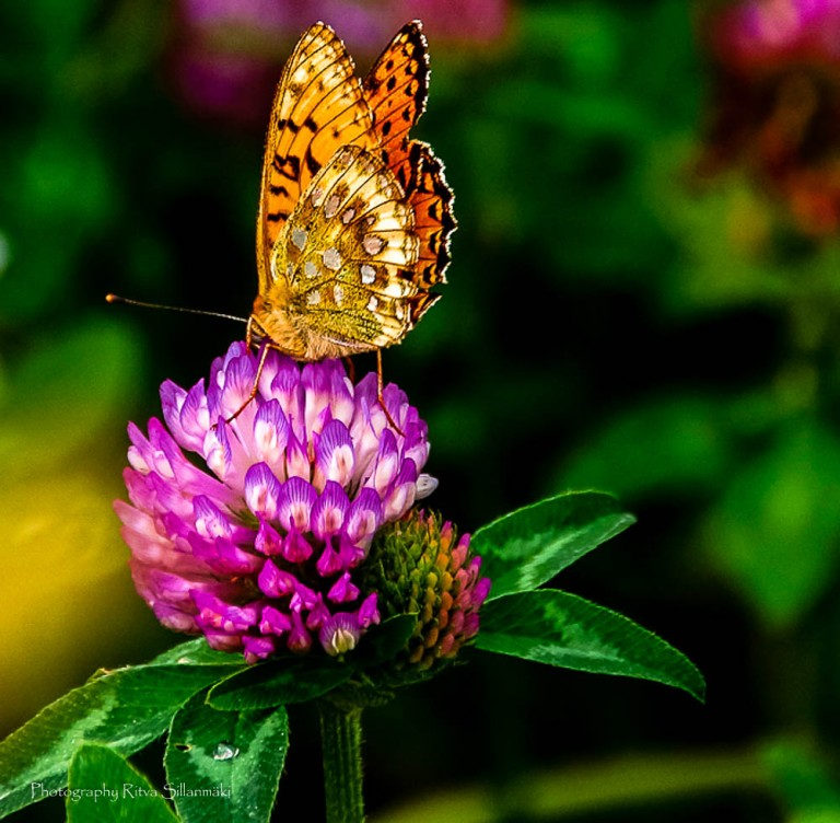 clover and butterfly (1 of 1)