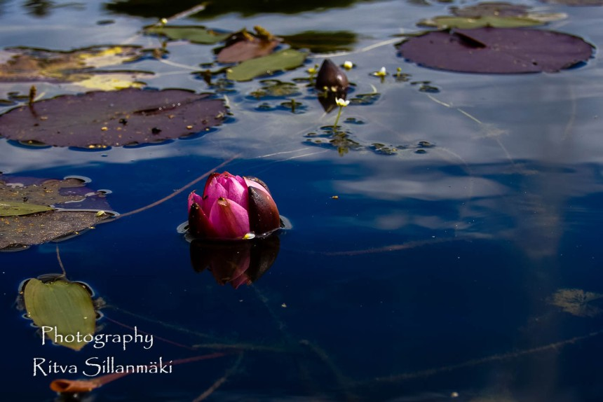 waterlillies-12