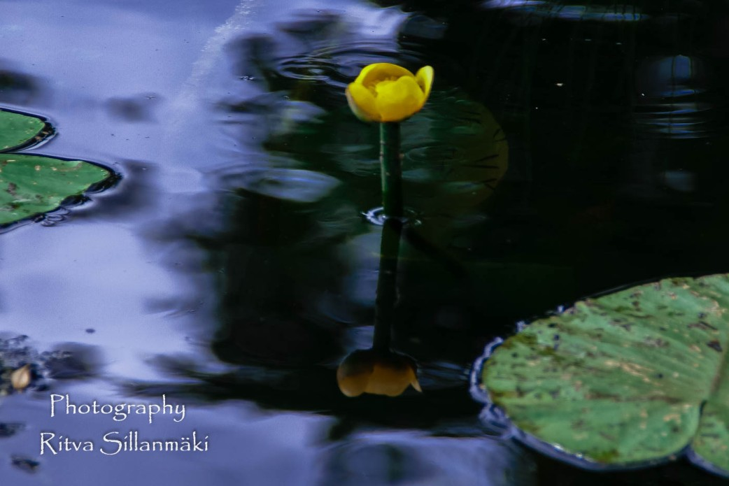 waterlillies-20