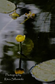 waterlillies-21