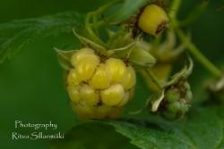 yellow rasberries-1-3