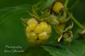 yellow rasberries-1-3