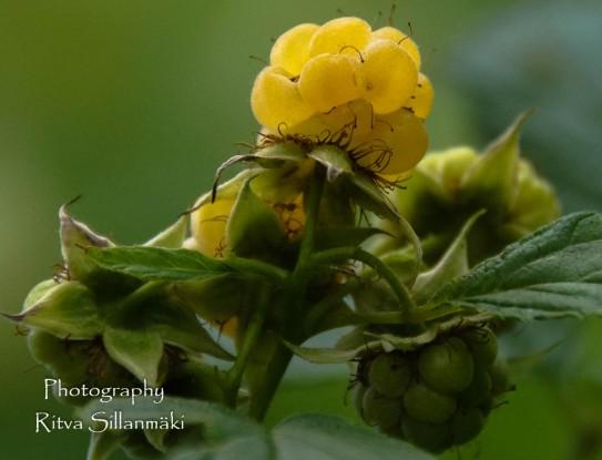 yellow rasberries-2