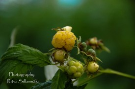 YELLOW RASPBERRY (2)