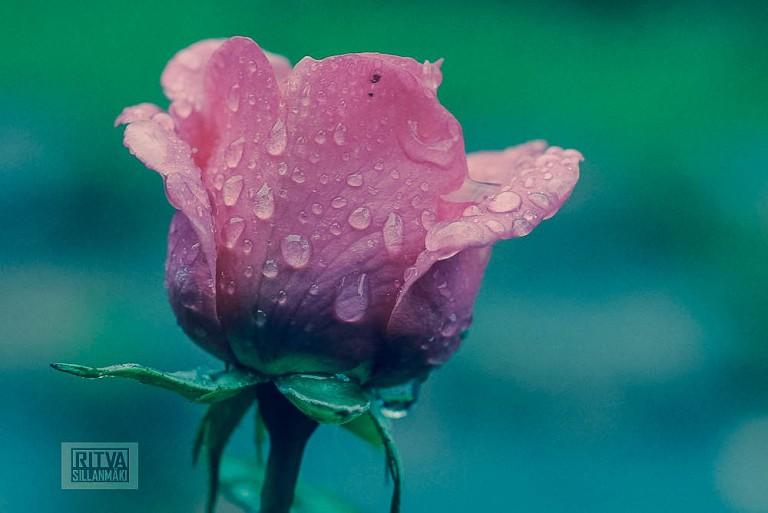 Pink Flower -Ritva Sillanmäki (3 of 4)