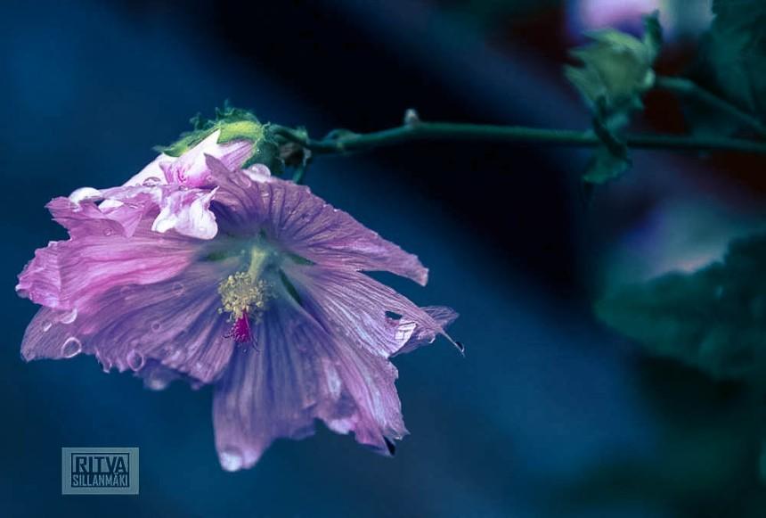 Pink Flower -Ritva Sillanmäki (4 of 4)