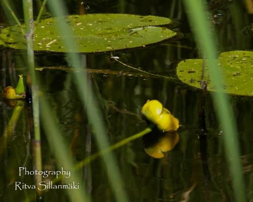 Waterlillies -Mustio-21