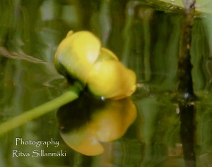 Waterlillies -Mustio-22