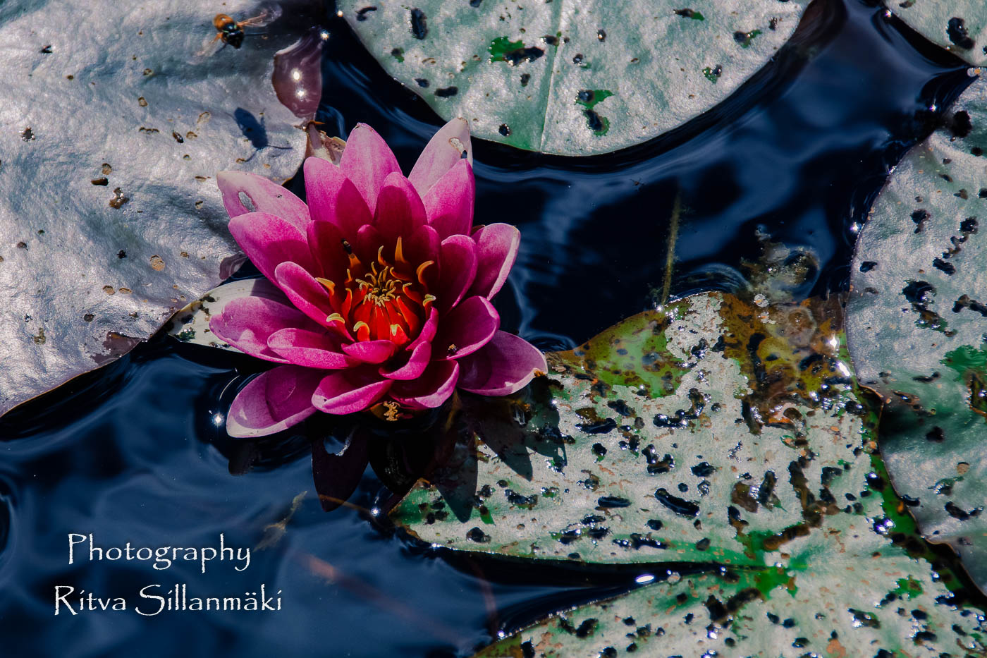 Waterlillies -Mustio-25