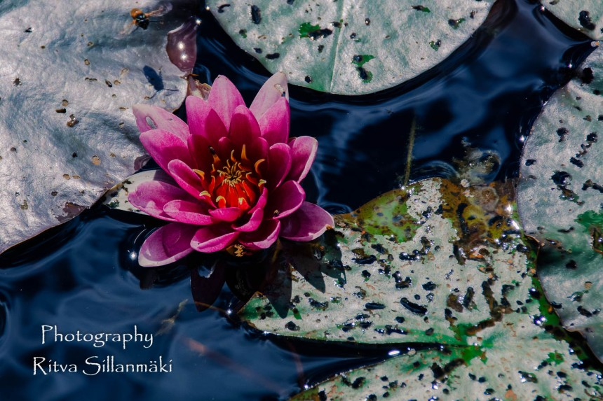 Waterlillies -Mustio-25