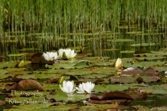 Waterlillies -Mustio-28