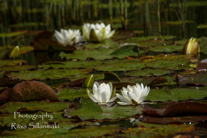 Waterlillies -Mustio-29