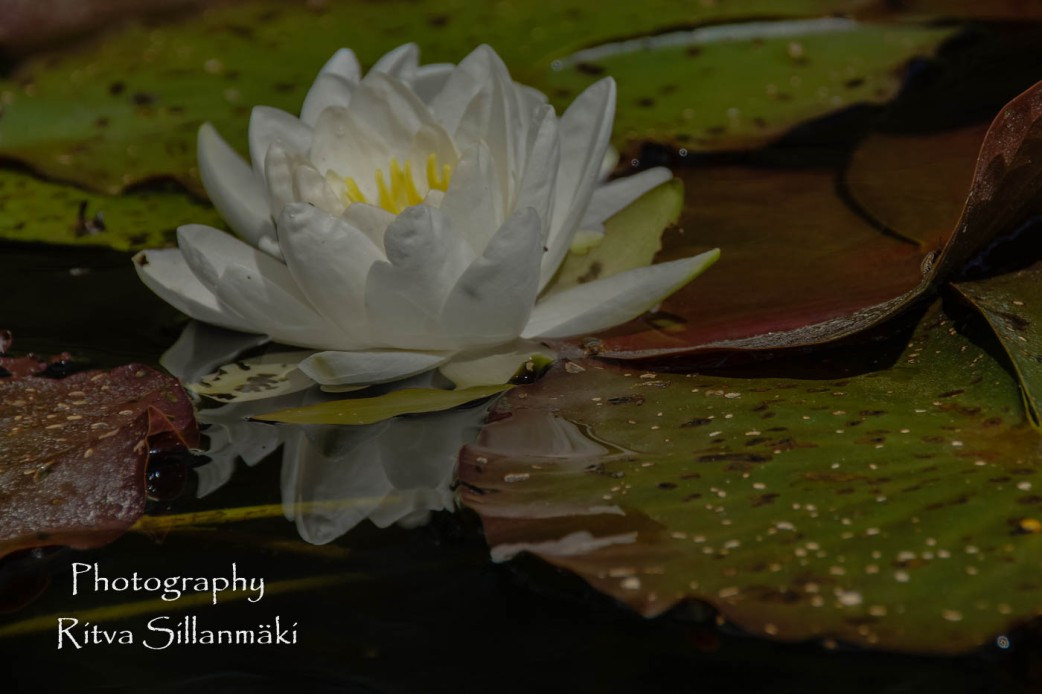 Waterlillies -Mustio-30