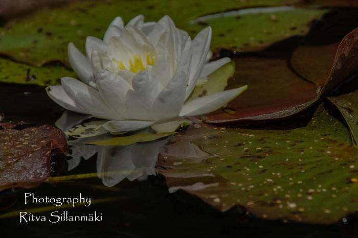 Waterlillies -Mustio-30