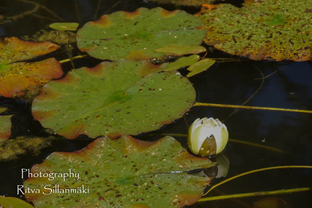 Waterlillies -Mustio-31