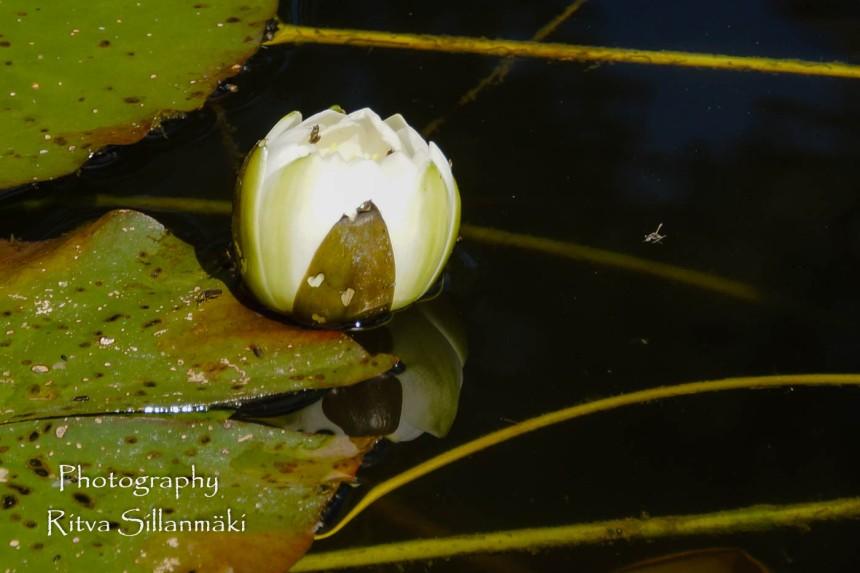 Waterlillies -Mustio-32