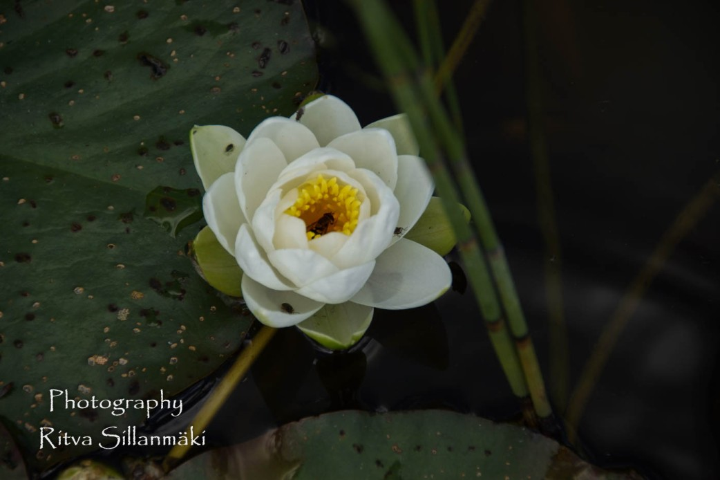 Waterlillies -Mustio-37