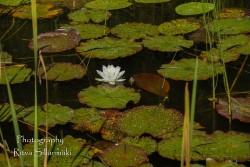 Waterlillies -Mustio-38
