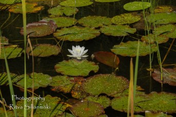 Waterlillies -Mustio-38