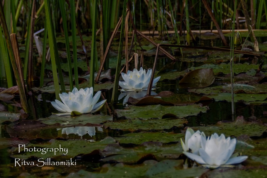 Waterlillies -Mustio-48