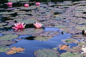 Waterlillies -Mustio-49