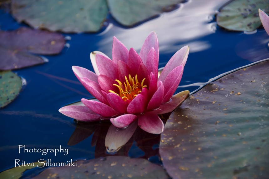 Waterlillies -Mustio-53