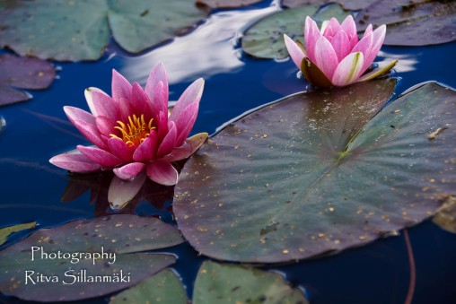Waterlillies -Mustio-54