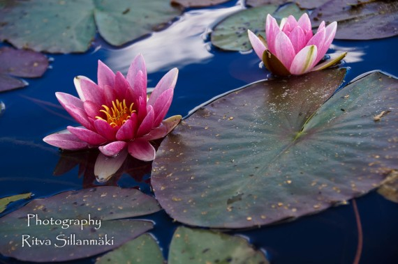 Waterlillies -Mustio-54