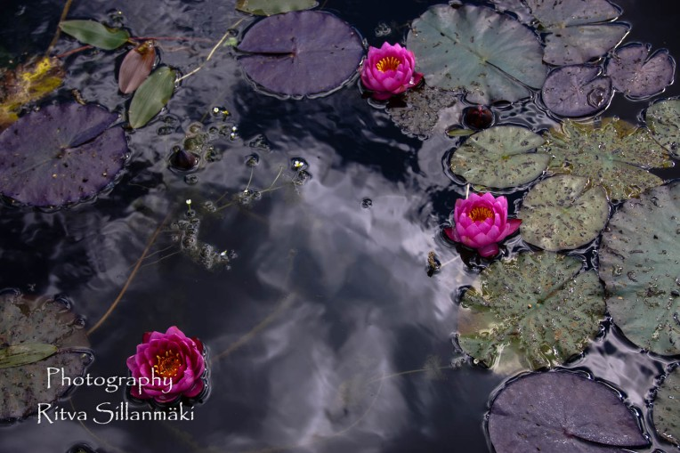 Waterlillies -Mustio-56