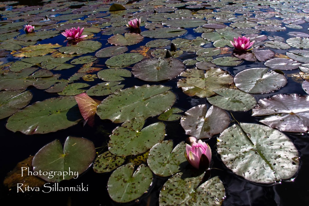 Waterlillies -Mustio-62