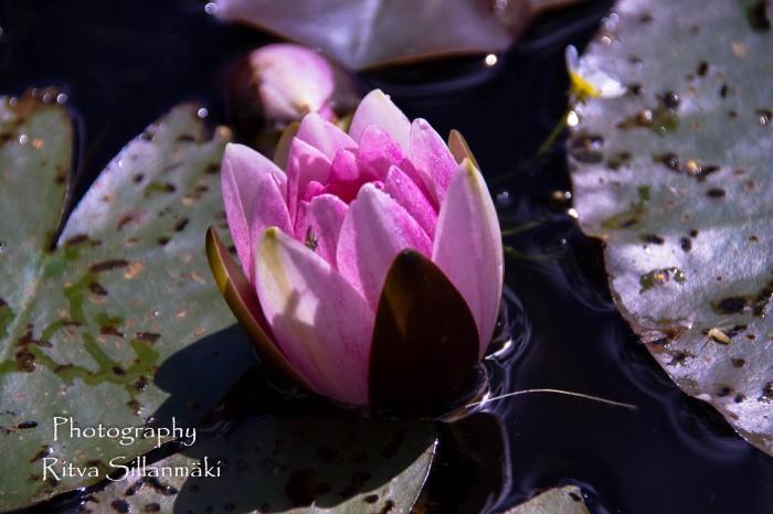 Waterlillies -Mustio-64