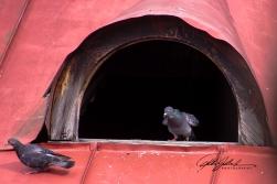 pigeons-2-kopio
