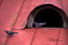 pigeons-3-kopio