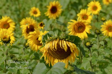 sunflower-1