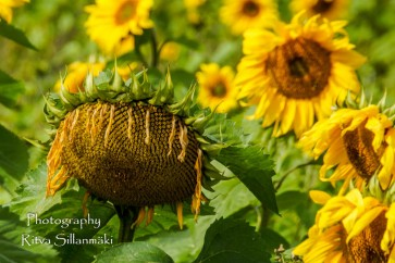 sunflower-8