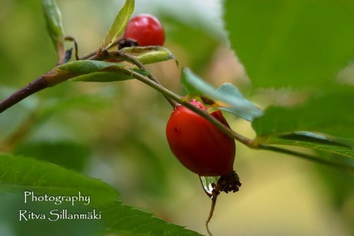 wild-rose-3
