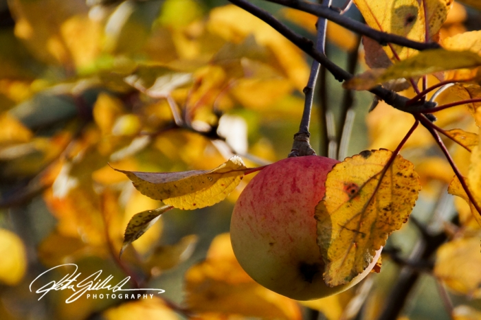 apples-of-october-4