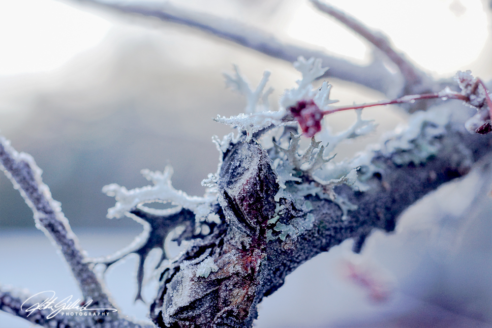 frosty-berries-4