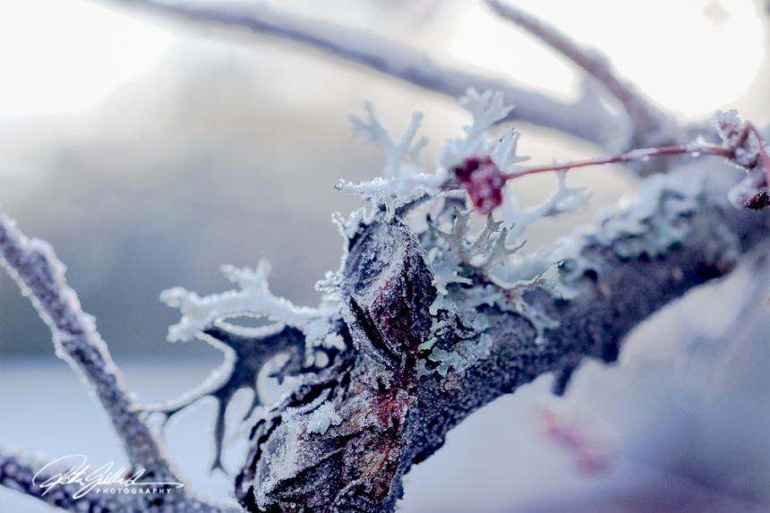 frosty-berries-4