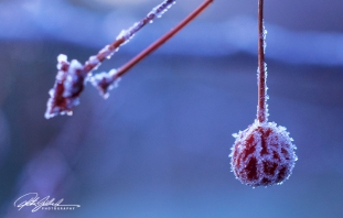 frosty-berries-5
