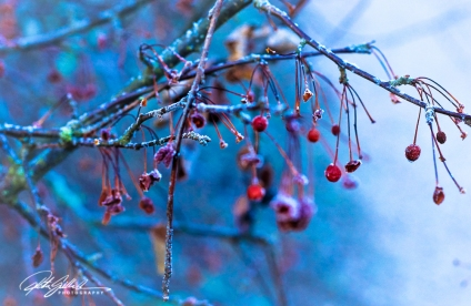 frosty-berries-7