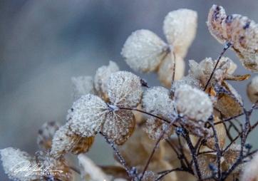 frosty-hydrengea-3-of-9
