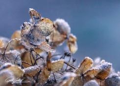 frosty-hydrengea-7-of-9