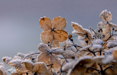 frosty-hydrengea-8-of-9